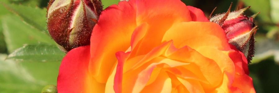 kerti ágyás rózsák