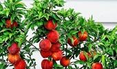 mini gyümölcsfák
