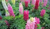 virágos évelők, fűszernövények