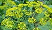 hazai fűszernövények