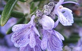 mediterrán fűszerrnövények