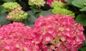 kerti hortenziák