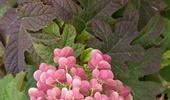 tölgylevelű, érdeslevelű és fűrészeslevelű hortenziák