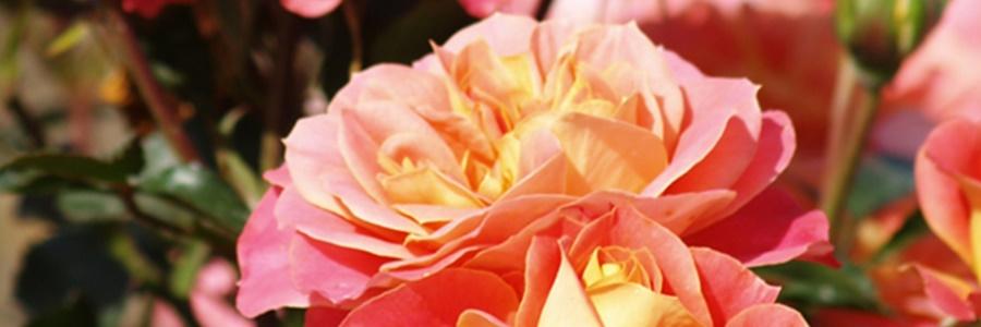 folytonvirágzó rózsa a teraszon
