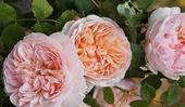 történelmi rózsák