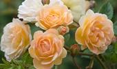 futó-, kúszó-, talajtakaró rózsák, törpe rózsák