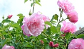 mini rózsák