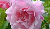 tearózsák, bokor rózsák
