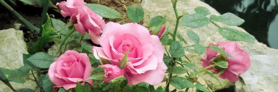 mesés rózsakert
