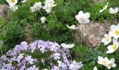 sziklakerti növények, díszfüvek
