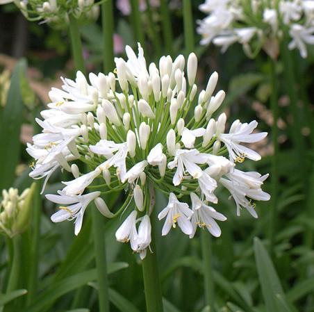 Afrikai szerelemvirág - fehér