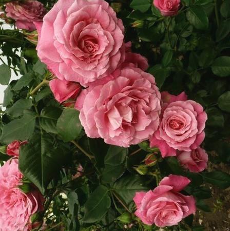 Rózsaszín romantikus rózsa - 'Amandine Chanel'