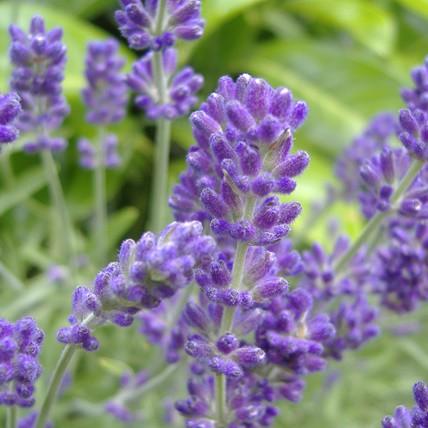 Levendula  angol 'Essence Purple'