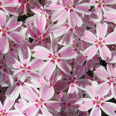 Árlevelű lángvirág - 'Kimono Pink White'