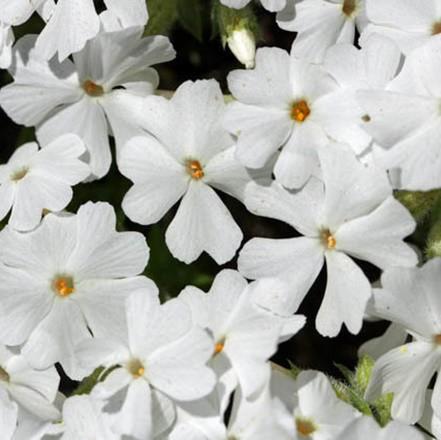 Árlevelű lángvirág - 'White Delight'