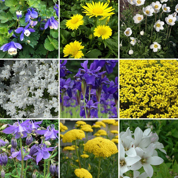 Balkon- és terasz - fehér - sárga - kék virágos évelők 9 db