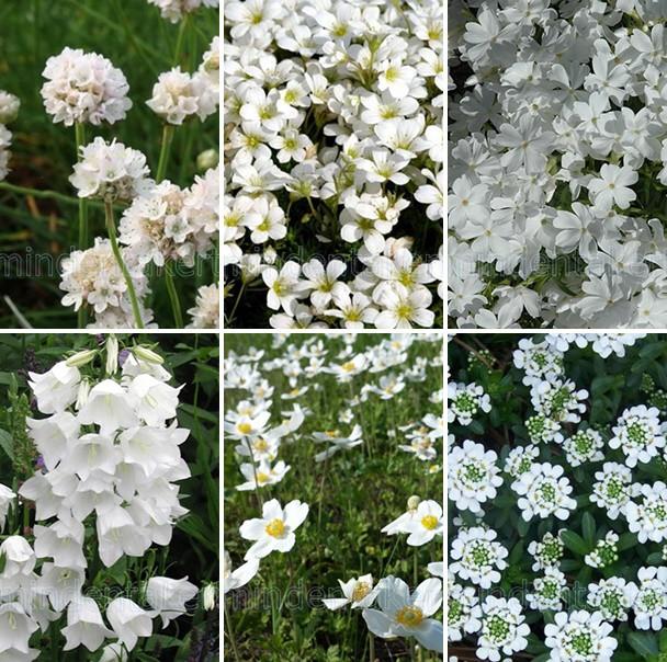 Balkon- és terasz - fehér virágos évelők 6 db