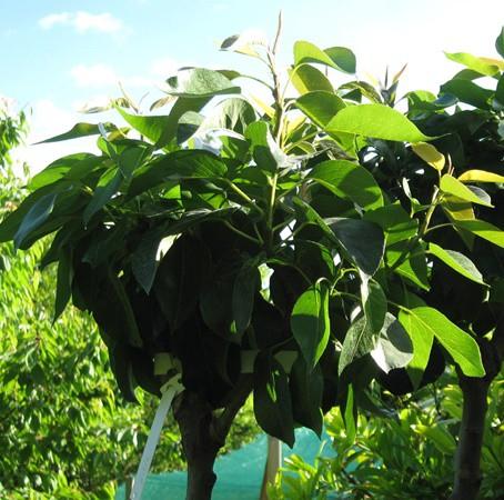 Balkon meggyfa cserepes, 120-140 cm