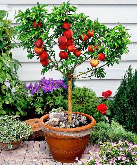Balkon őszibarackfa, cserepes 120-130 cm