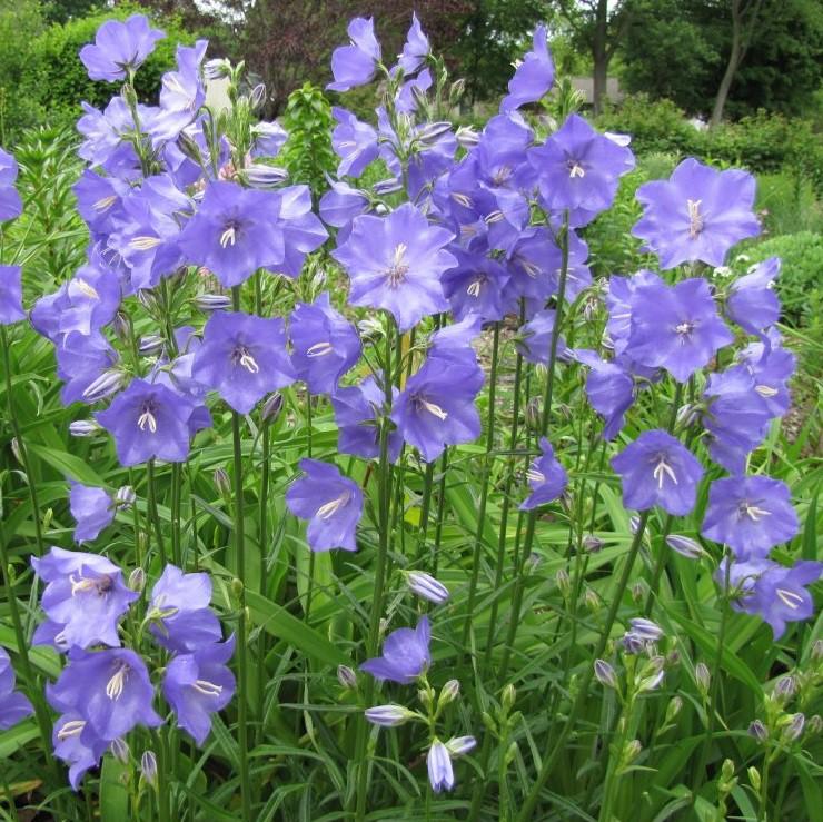 Baracklevelű harangvirág - 'Takion Blue'