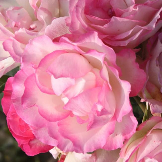 Rózsaszín ágyásrózsa - 'Bordure Rose'