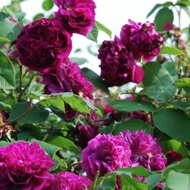Lila történelmi rózsa - 'Erinnerung an Brod'