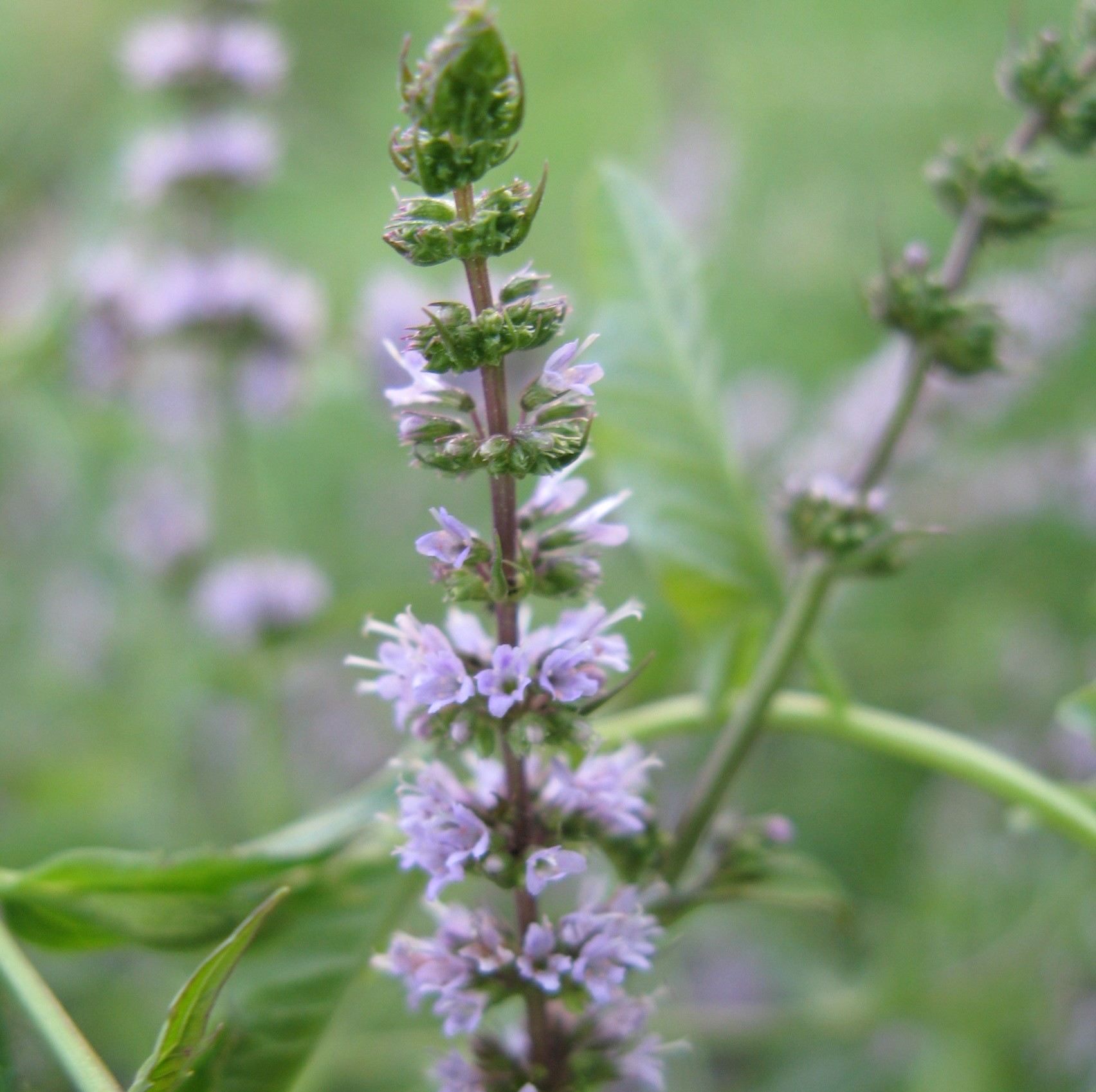 Fodormenta 'Black Spearmint'