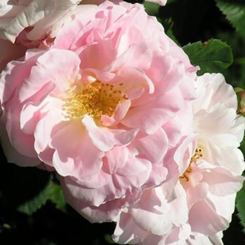 Rózsaszín történelmi rózsa - 'Fritz Nobis'