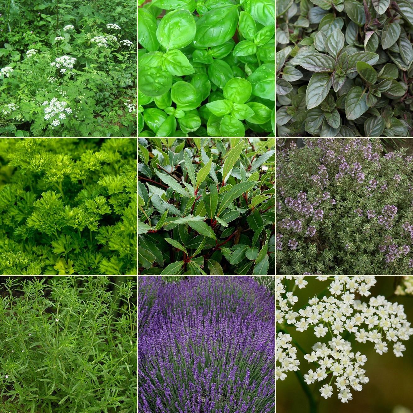 Fűszer és gyógynövénykert - egzotikus2. 9db