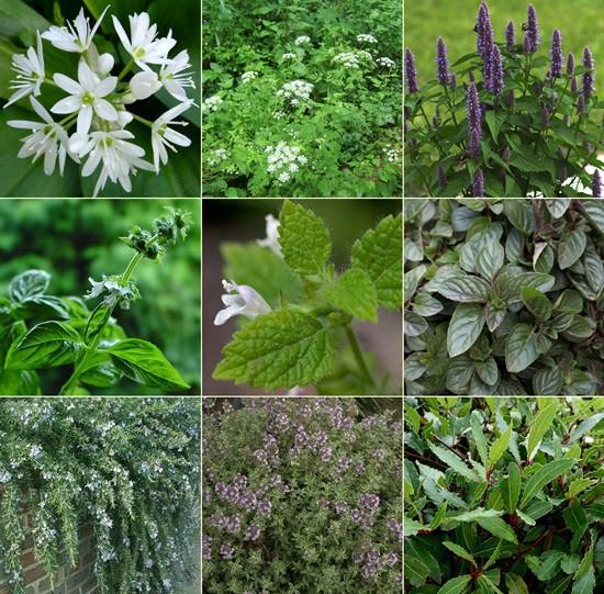 Fűszer és gyógynövénykert - egzotikus1. 9db