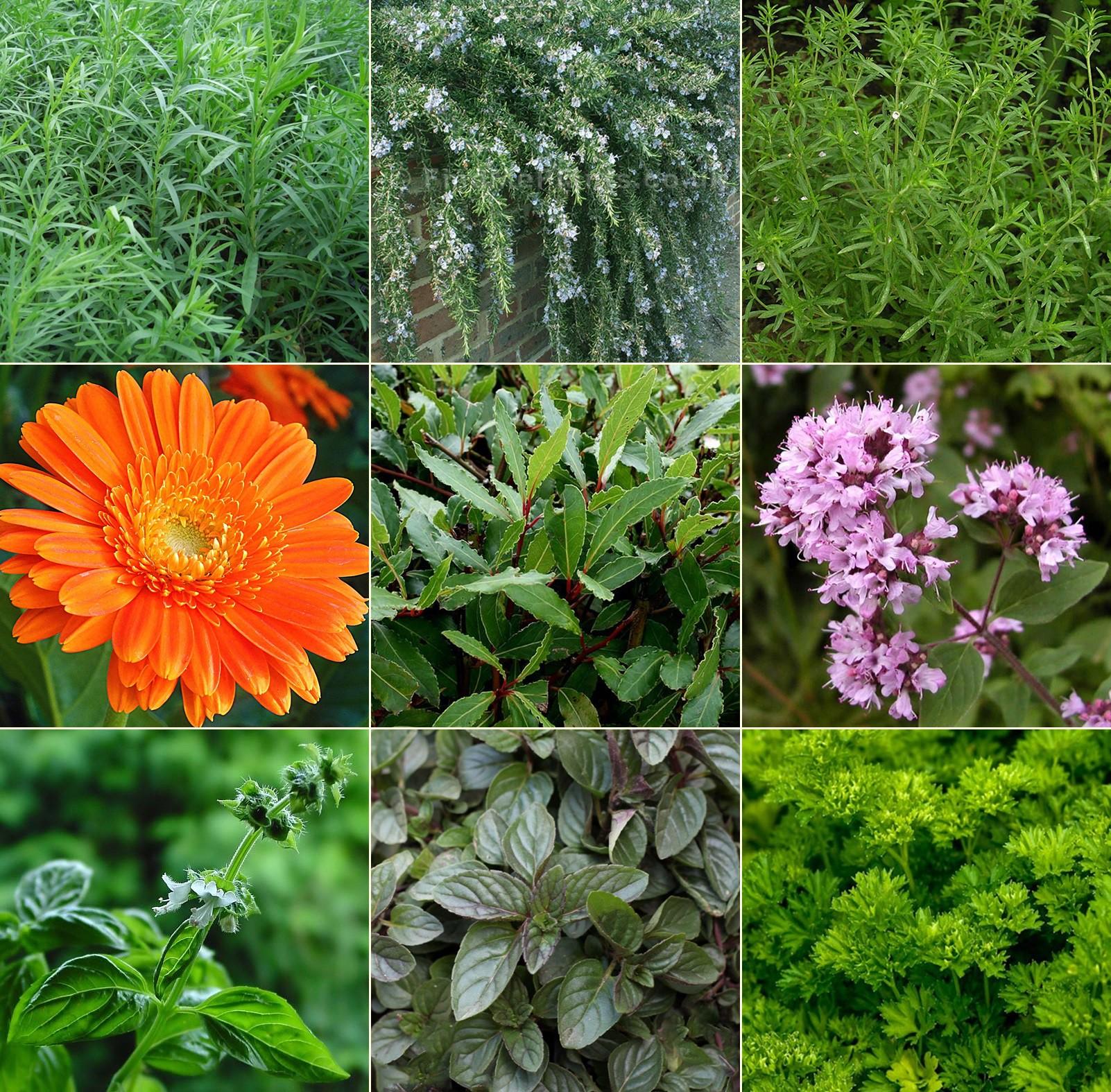 Fűszer és gyógynövénykert - ínyenc1. 9db
