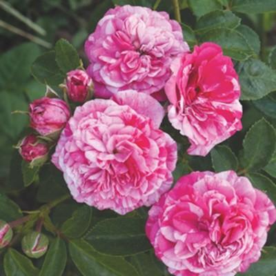 Rózsaszín-fehér romantikus talajtakaró rózsa 'Gaudy'