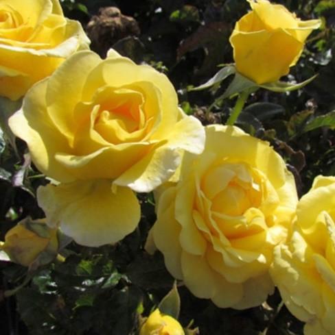 Sárga ágyásrózsa -'Golden Wedding'