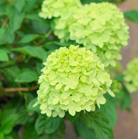 Bugás hortenzia 'Little Lime'