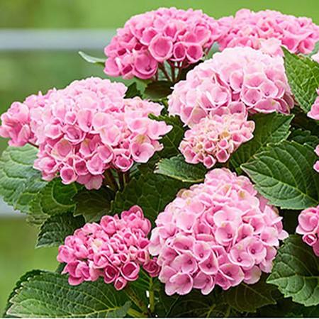 Kerti hortenzia 'Pretty Pink'