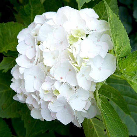 Kerti hortenzia 'White Crips'
