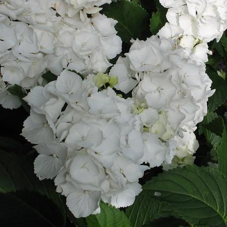 Kerti hortenzia 'White Schneeball'