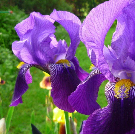 Kerti nőszirom - lila