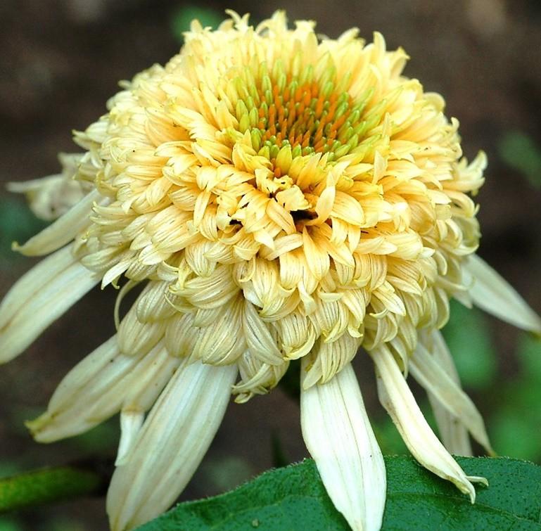 Kasvirág 'Secret Joy'
