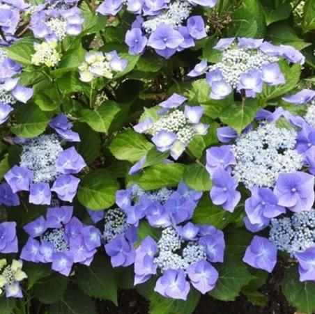 Kerti hortenzia 'Teller Blauling'