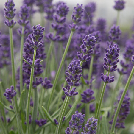 Levendula orvosi 'Aromatico Blue'