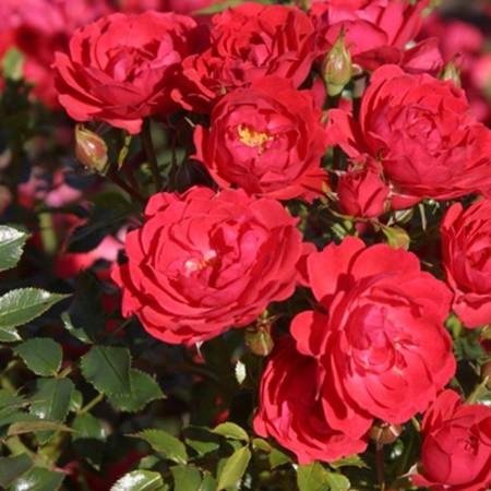 Vörös talajtakaró rózsa 'Limesglut'