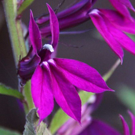 Pompás lobélia 'Hadspen Purple'