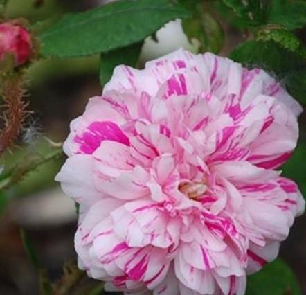 Cirmos történelmi rózsa -'Madame Moreau'