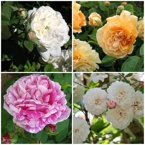 Mediterrán kert - futó és bokor rózsák 4db