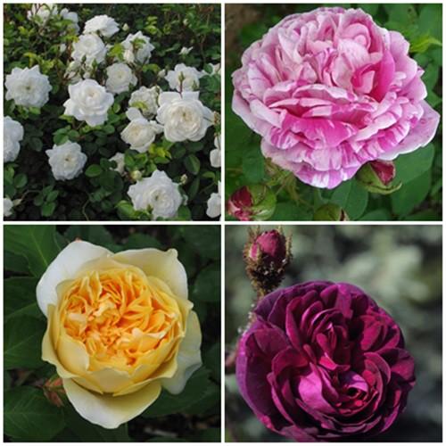 Mediterrán kert -  fehér-vegyes rózsák 4 db
