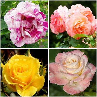 Modern kert - vegyes rózsák1. 4 db
