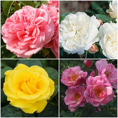 Modern kert - vegyes rózsák2. 4 db