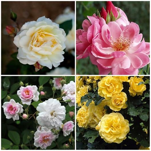 Modern kert - vegyes rózsák3. 4db
