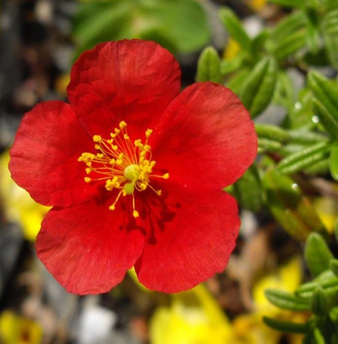 Napvirág piros